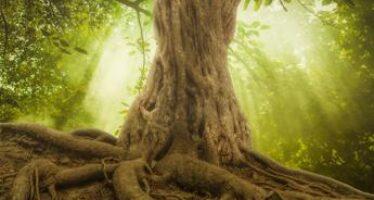 La capacità riproduttiva degli alberi diminuisce con l'età